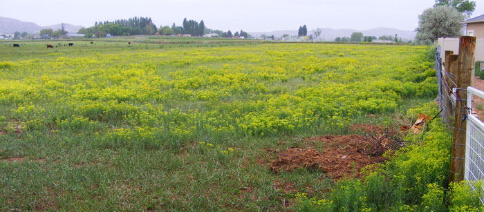 Leafy spurge infesting pasture and nearby home properties.