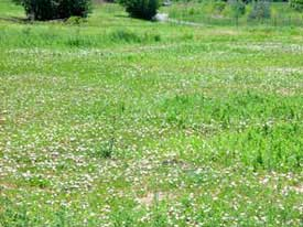 field bindweed patch