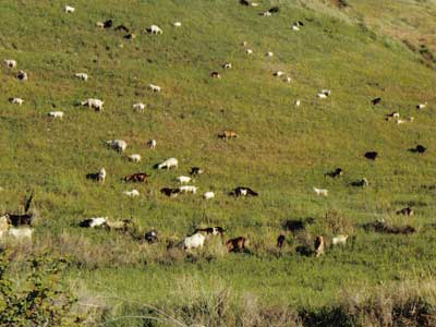Goats can be an excellent biological control for noxious weeds
