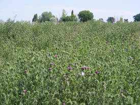 bull thistle patch