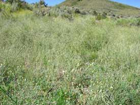 diffuse knapweed patch