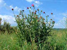 mature musk thistle