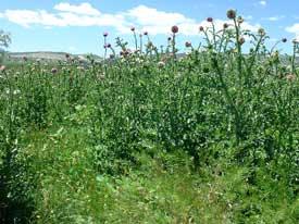 musk thistle patch