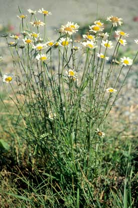 Oxeye Daisy adult