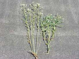 mature perennial pepperweed