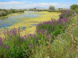 purple loosestrife patch