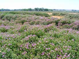 Russian knapweed patch