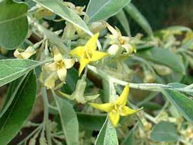 Russian-olive flower