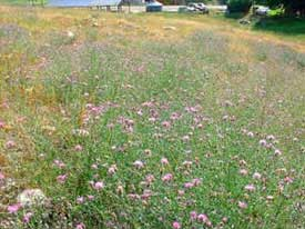 spotted knapweed patch