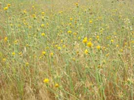 yellow starthistle patch