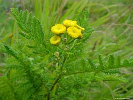 common tansy flower